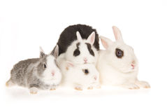 Hotot doe with kits on white background Stock Photos