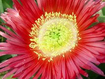 Hottentot fig. A close-up about a very colorful hottentot fig stock photos