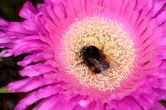 Hottentot Fig and Bombus royalty free stock photos
