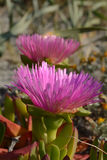 Hottentot Fig (Carpobrotus) Stock Photography