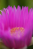 Hottentot fig Royalty Free Stock Photo