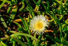Hottentot-Fig stock images