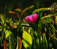 Hottentot plant Stock Photography