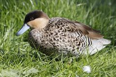 Hottentot teal Royalty Free Stock Images