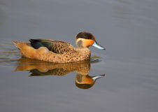Hottentot Teal Royalty Free Stock Photos