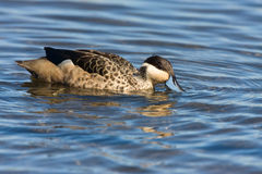 Hottentot Teal. In shallow water Stock Photo