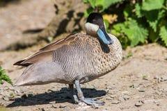 Hottentot Teal Duck Immagine Stock Libera da Diritti