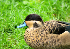 Hottentot Teal Duck Anas hottentota Royalty Free Stock Photo