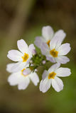 Hottonia palustris Stock Photo