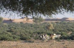 Houbara bustard chlamydotis undulata in a desert near dubai. Two Houbara bustards chlamydotis undulata fighting in a desert near dubai Stock Image