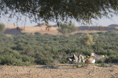 Houbara bustard chlamydotis undulata in a desert near dubai. Two Houbara bustards chlamydotis undulata fighting in a desert near dubai Royalty Free Stock Photos