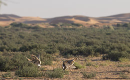 Houbara bustard chlamydotis undulata in a desert near dubai. Two Houbara bustards chlamydotis undulata fighting in a desert near dubai Royalty Free Stock Images