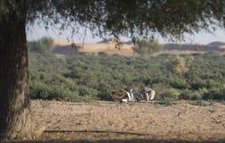 Houbara bustard chlamydotis undulata in a desert near dubai. Two Houbara bustards chlamydotis undulata fighting in a desert near dubai Royalty Free Stock Image