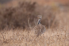 Houbara Bustard Royalty Free Stock Images