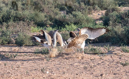 Houbara bustards fighting for the right to mate in the desert of Dubai, UAE. Stock Image
