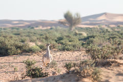 Houbara bustards fighting for the right to mate in the desert of Dubai, UAE. Houbara bustards Chlamydotis undulata fighting for the right to mate in the desert Royalty Free Stock Photos