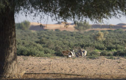 Houbara-Trappe chlamydotis undulata in einer Wüste nahe Dubai Lizenzfreies Stockbild