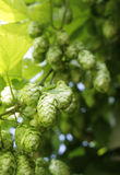 Houblon Photographie stock