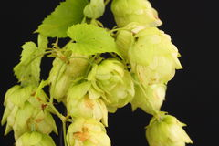 Houblon d'or Images stock