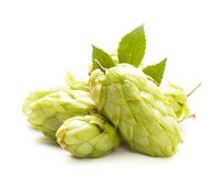 Houblon d'isolement Photo stock