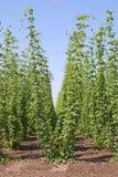 Houblon de bière images stock