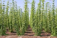 Houblon de bière photos stock