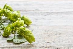 Houblon de plante verte image stock