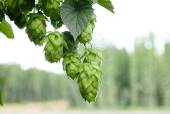Houblon en cônes Photos stock