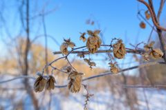 Houblon en cônes couvert de la glace contre le ciel bleu, jour givré photo stock