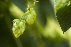 Houblon en cônes frais vert pour faire le plan rapproché de bière et de pain, fond agricole Photographie stock