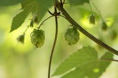 Houblon en cônes frais vert pour faire le plan rapproché de bière et de pain, fond agricole Photographie stock libre de droits