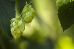 Houblon en cônes frais vert pour faire le plan rapproché de bière et de pain, fond agricole Photo stock