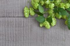 Houblon en cônes mûr vert Ingrédient de production de bière Photos stock