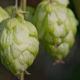 Houblon en cônes vert mûr. Production de bière. Photo stock