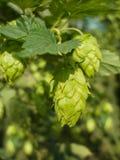 Houblon - goût de bière Photographie stock