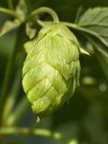 Houblon - goût de la bière 3 Photos libres de droits