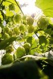 Houblon s'élevant sur le feuillage d'usine de lupulus de Humulus éclairé à contre-jour par le foyer sélectif du soleil photographie stock libre de droits