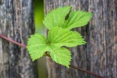 Houblon, s'élevant sur un mât en bois Photo stock
