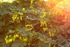 Houblon verts Photo libre de droits