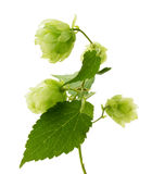 Houblon verts d'isolement sur le fond blanc Photos stock