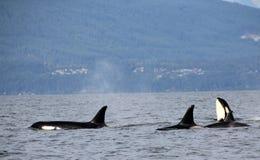 Houblonnage d'espion d'orque avec la cosse des orques résidentes de la côte près de Sechelt, AVANT JÉSUS CHRIST Photographie stock