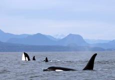 Houblonnage d'espion d'orque avec la cosse des orques résidentes de la côte près de Sechelt, AVANT JÉSUS CHRIST Images libres de droits