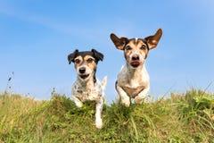 Houblonnage de chien au-dessus d'une colline verte dans un pr? ann?es de Jack Russell 8 et 10 - coiffure : cass? et lisse - deux  photographie stock