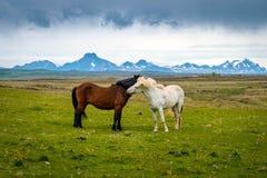 Houdende van Ijslandse paarden stock afbeeldingen