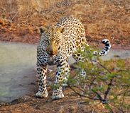Houdini the leopard - South Africa Royalty Free Stock Photography