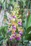 Houlletiana de Aerides, flor de la orquídea Imágenes de archivo libres de regalías