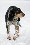 Hound Stock Images