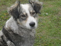 hound Fotografia Stock Libera da Diritti