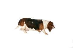 hound baseta widok boczny Obrazy Stock