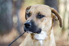 Hound Cur mixed breed dog with black muzzle. Tan hound, Black-mouthed Cur, Boxer mix puppy dog mutt with black muzzle outdoors on black leash. Male, not neutered Stock Photo